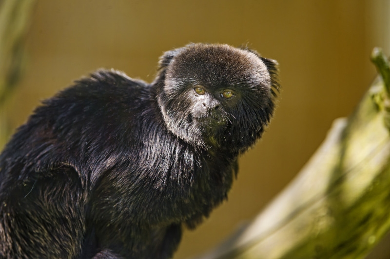 First picture of the Servion zoo a cute black monkey!