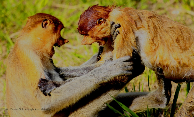 Fighting Monkeys in Borneo