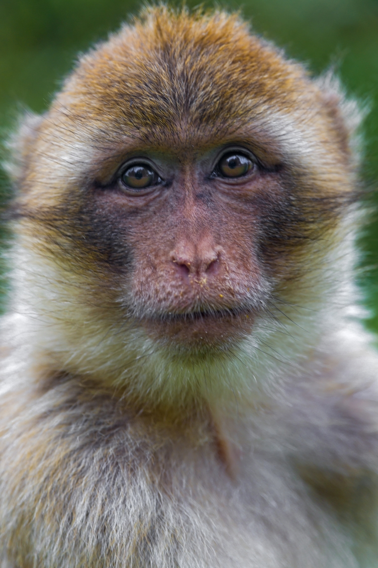 Portrait-of-a-macaque