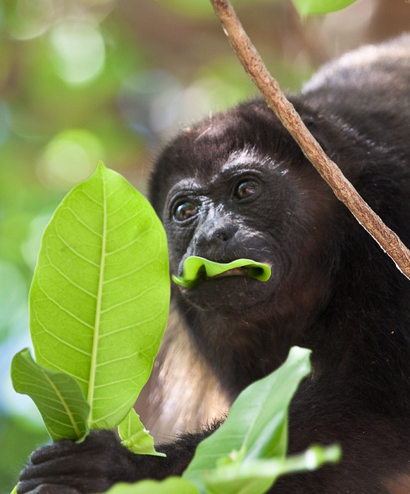 Howler Monkey having lunch in a tree