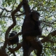 Swinging chimp in Kigoma