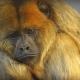 A very sad Howler Monkey