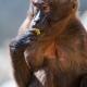 Eating-gelada-baboon