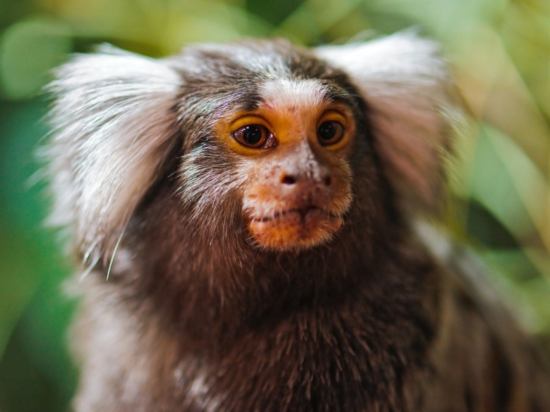 Portrait of a cute Marmoset in Switzerland
