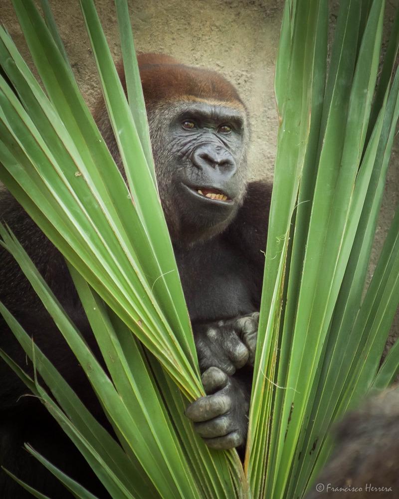 Peek-a-boo! from a Gorilla