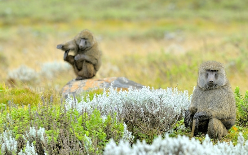 Olive Baboons in Ethopia