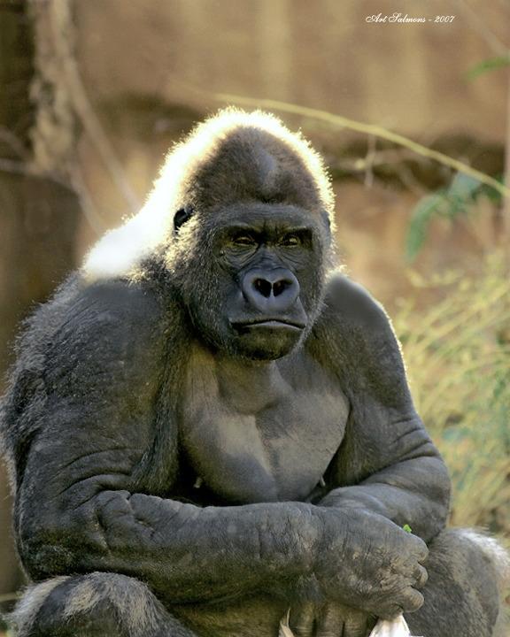 A very sad looking Gorilla
