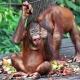Borneo-Orang-Utans