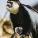 Colobus mother and baby in Switzerland