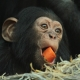 Chimp with big mouth for his food