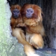 Twins-golden-lion-tamarin