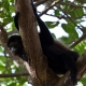 Mantled-Howler-Monkey-4