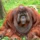 Sibu-the-gentle-giant