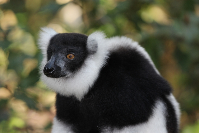 Varecia-variegata-variegata-Black-and-White-Ruffed-Lemur