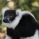 Varecia-variegata-variegata-Black-and-White-Ruffed-Lemur