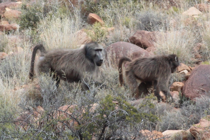 Baboons looking for food