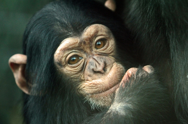 Cute-baby-chimp
