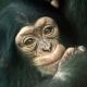 Cute-baby-chimp