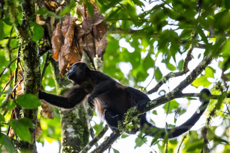 Black-Howler monkey La Selva Biological Station