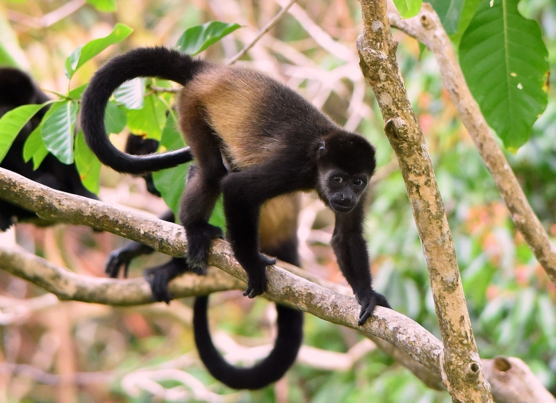 Mantled Howler Monkey  using limbs and tail to travel