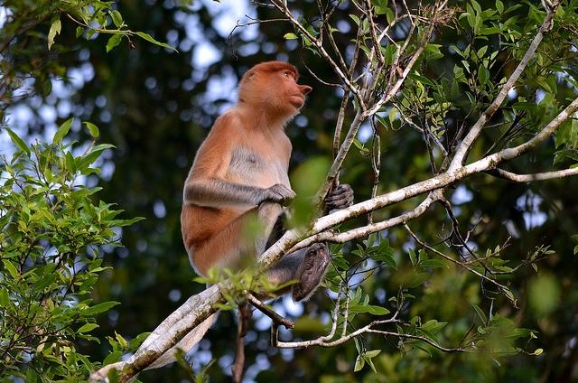 Proboscis-Monkey-high