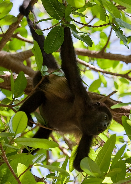 Mantled-Howler-Monkey-12