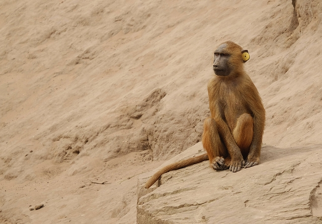 Another-Baboon
