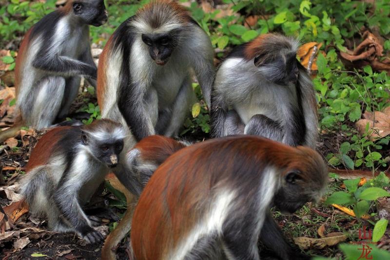 Zanzibar red colobus monkeys