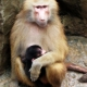 Female-baboon-and-her-baby