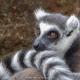 Demure-Lemur