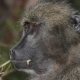 Baboon Portrait with bad table-manners