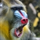 Mandrill at Oregon Zoo