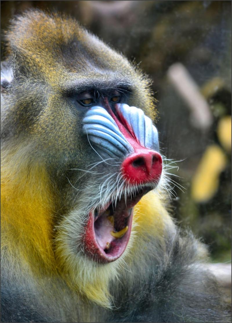 Mandrill at Oregon Zoo