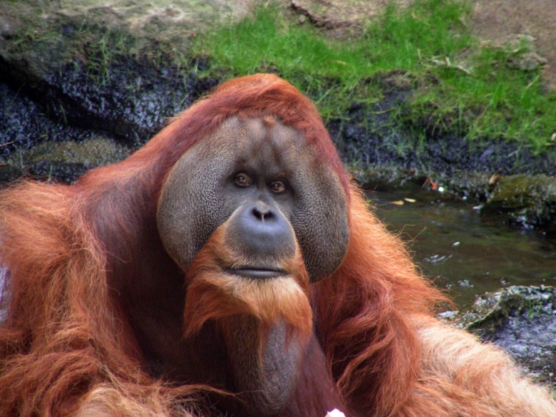 Intelligent Orangutan looking at the camera