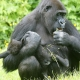 Gorillas-enjoying-spring