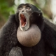 Siamang Gibbon with a big throat