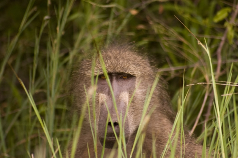 Baboon looking through the grass