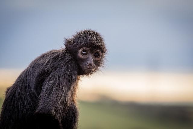 Spider-Monkey-Portrait