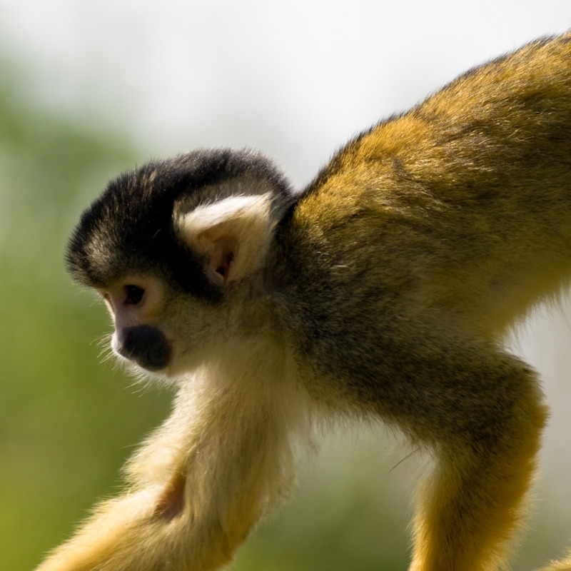 Black-capped Squirrel Monkey looking great