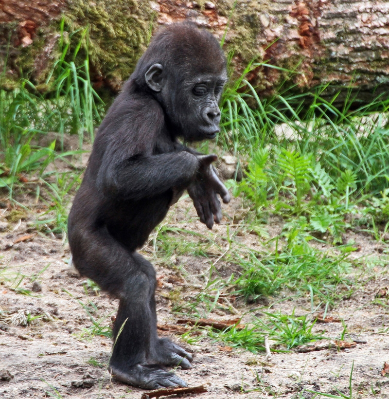 Sweet Baby Gorilla walking