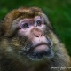 Close-up portrait of a Barbary Macaque looking up a tree