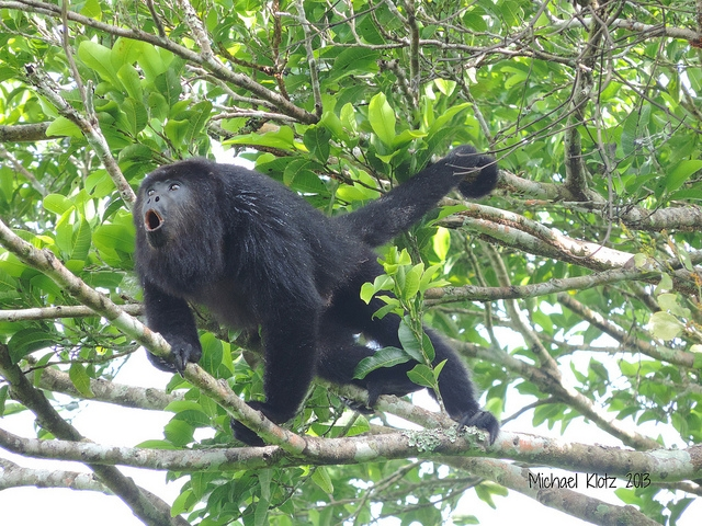 Mexican-Black-Howler-Monkey