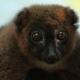 Cute Lemur looking at the camera