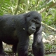 Blackback-Mountain-Gorilla-Uganda