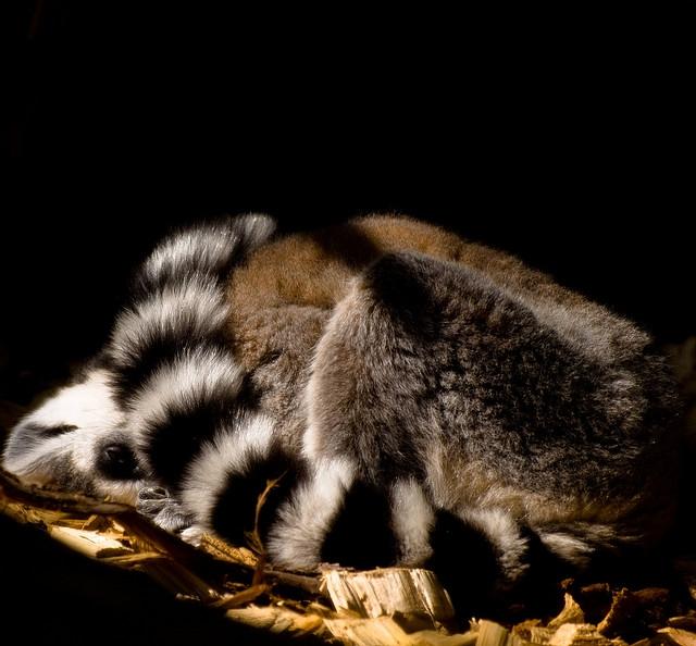 Lemur-curled-into-a-ball