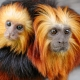 A golden-headed lion tamarin mother with her baby on the back