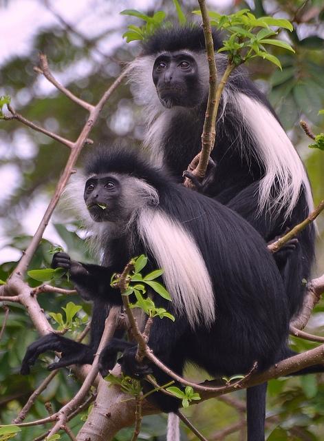 Black-and-White-Colobus-Monkeys