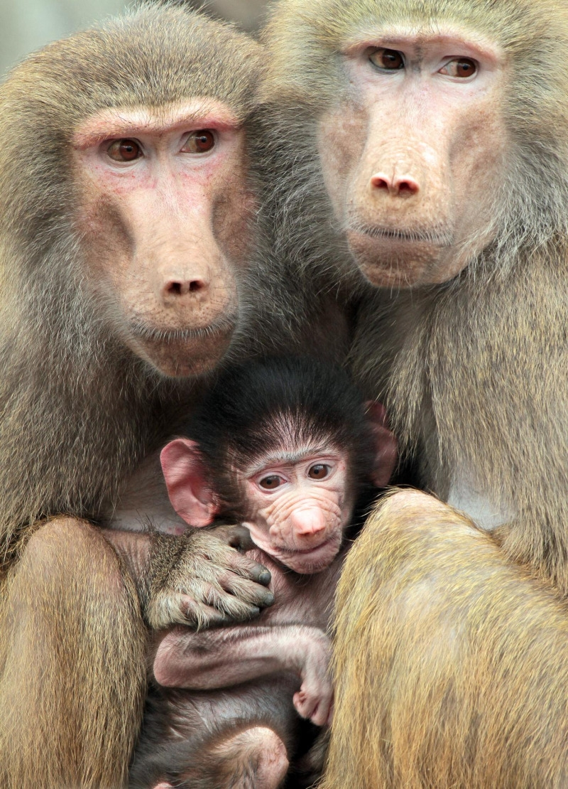 The perfect Baboon family