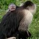 Capuchin-baby