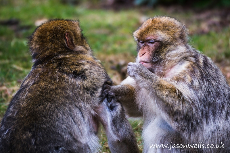 Pair of Barbary Macaques cleaning one another.